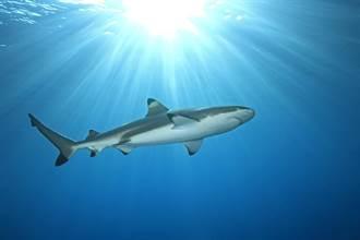 想吃沙丁魚 蠢萌鯊魚竟大口吞同類
