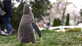 小企鵝初賞櫻 萌片瘋傳網融化