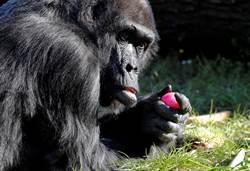 大猩猩很會!搞笑玩自拍 網讚:根本偶像團體