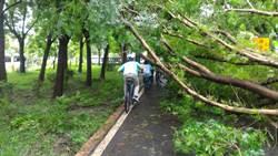 強風驟雨襲擊東豐綠廊 3樓高黃連木倒塌
