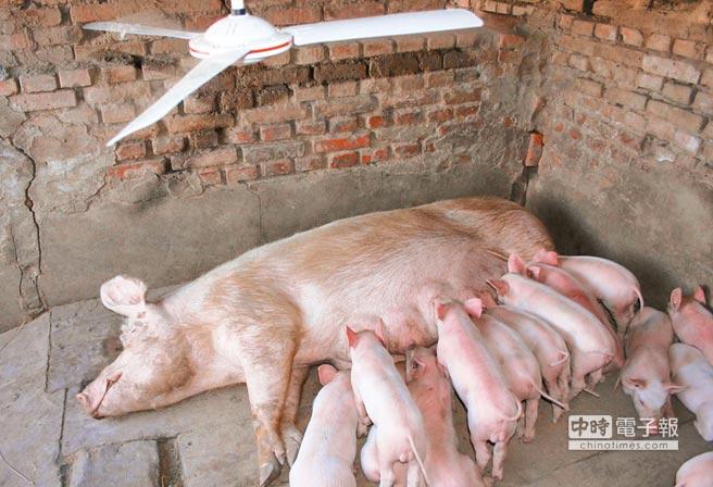哈爾濱村民在豬圈裝電風扇,替豬隻降溫。(中新社資料照片)