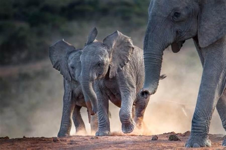 狂歡忘餵大象 竟抓狂踩死飼育員(示意圖/達志影像)