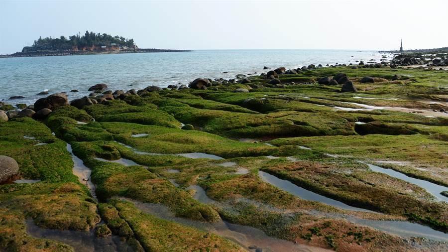 綠色藻類大片布滿石槽,好似在礁岩舖上綠色地毯,形成海岸特殊景觀。(洪清漳提供)