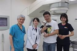 10歲吉娃娃罹兩癌 放射治療獲新生