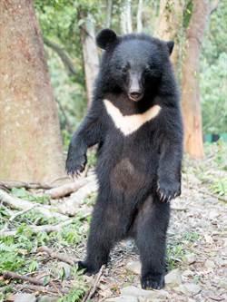 野生台灣黑熊首例! 南安小熊4月底野放回家