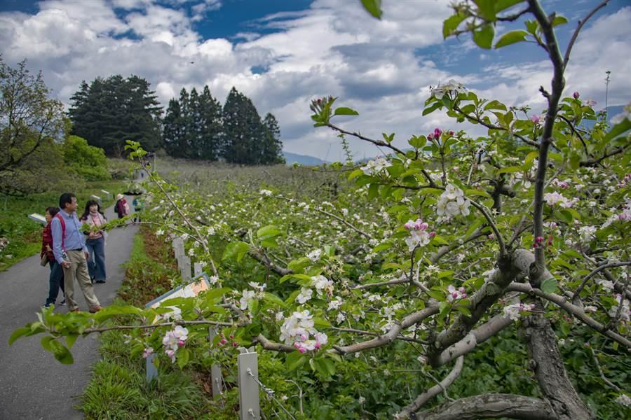 福壽山農場蘋果花怒放,賞花期持續至月底,遊客得把握最後賞花機會。(陳淑娥翻攝)