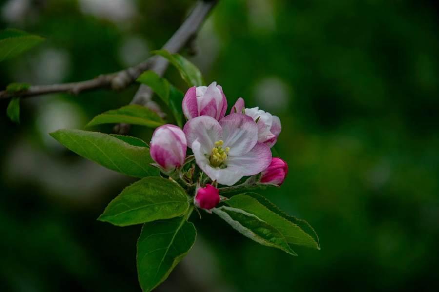 蘋果花苞是紅色,綻放後花瓣轉為白色,十分特別。(陳淑娥翻攝)