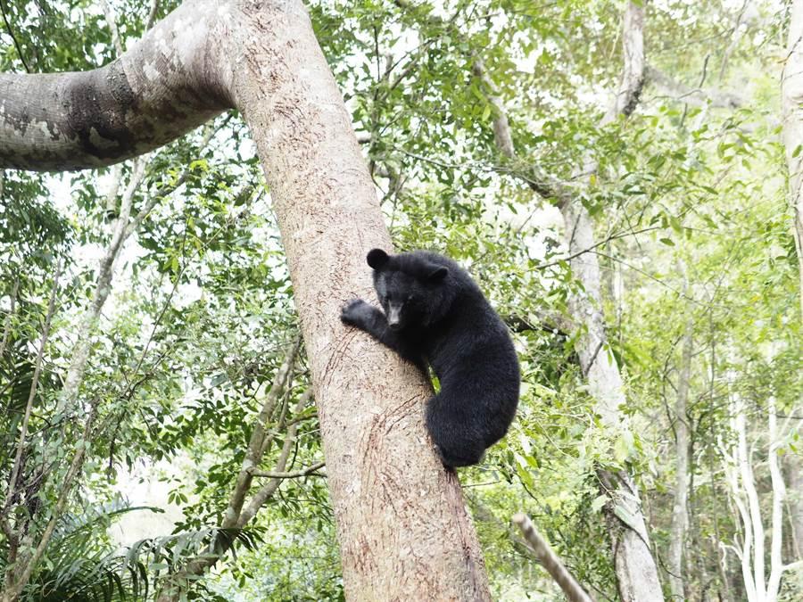 不法份子現身南安山區,讓黑熊保育出現危機。(台灣黑熊保育協會提供)
