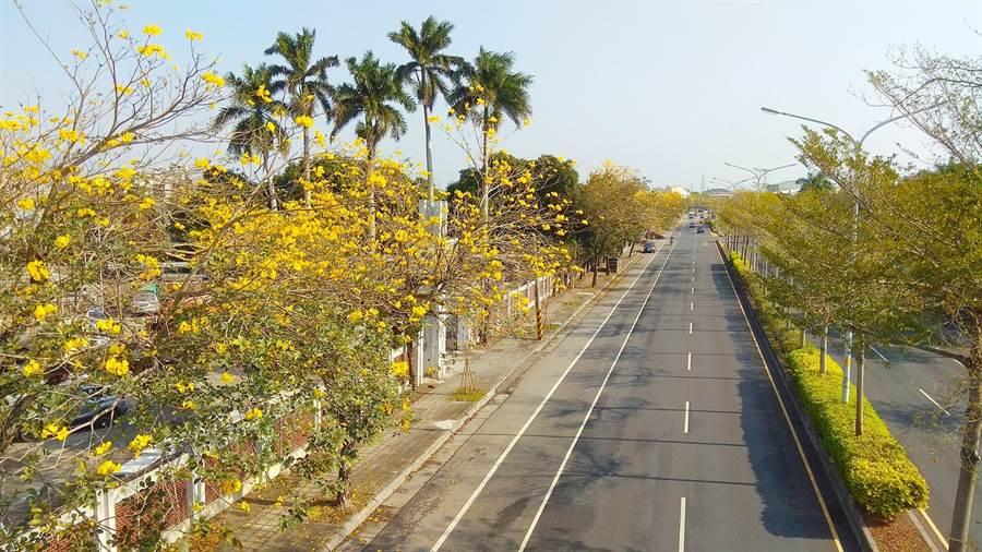 彰化县溪州乡侨义国小位处台一线中山路旁,每年初春的「黄金大道」盛开的黄金风铃木吸引各地游客慕名而来。