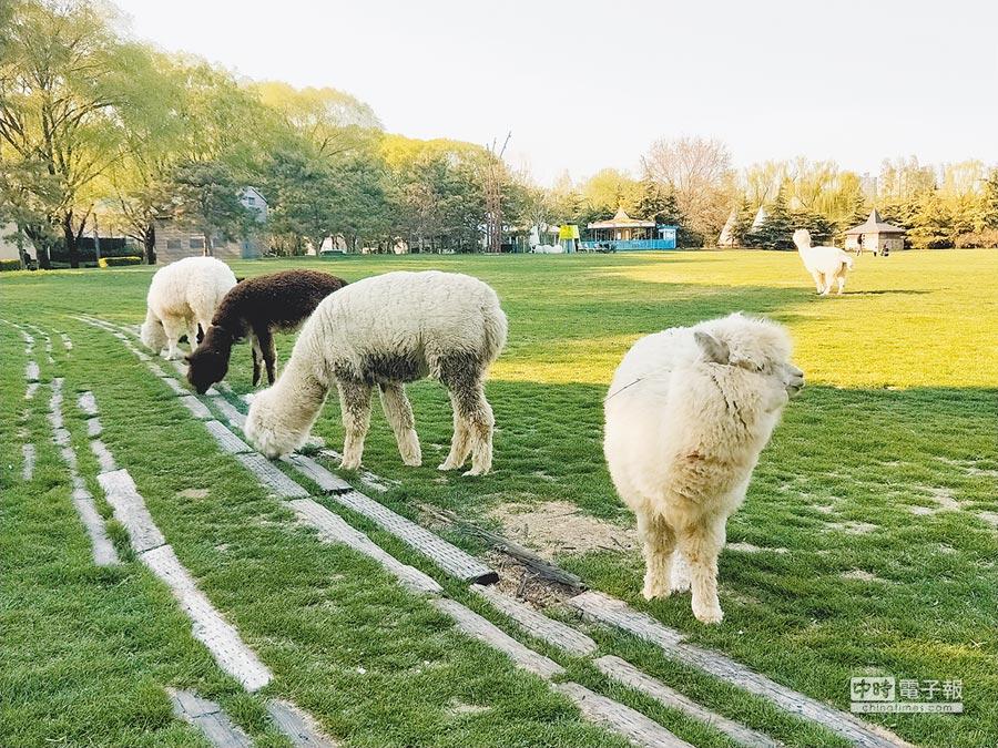 成群羊駝在紫玉山莊吃草。(記者陳君碩攝)