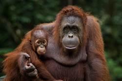 猩猩為護家肉身擋挖土機 眾人心碎