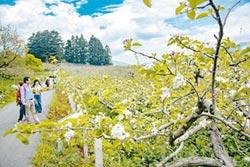 福壽山蘋果花怒放 旅展有好康