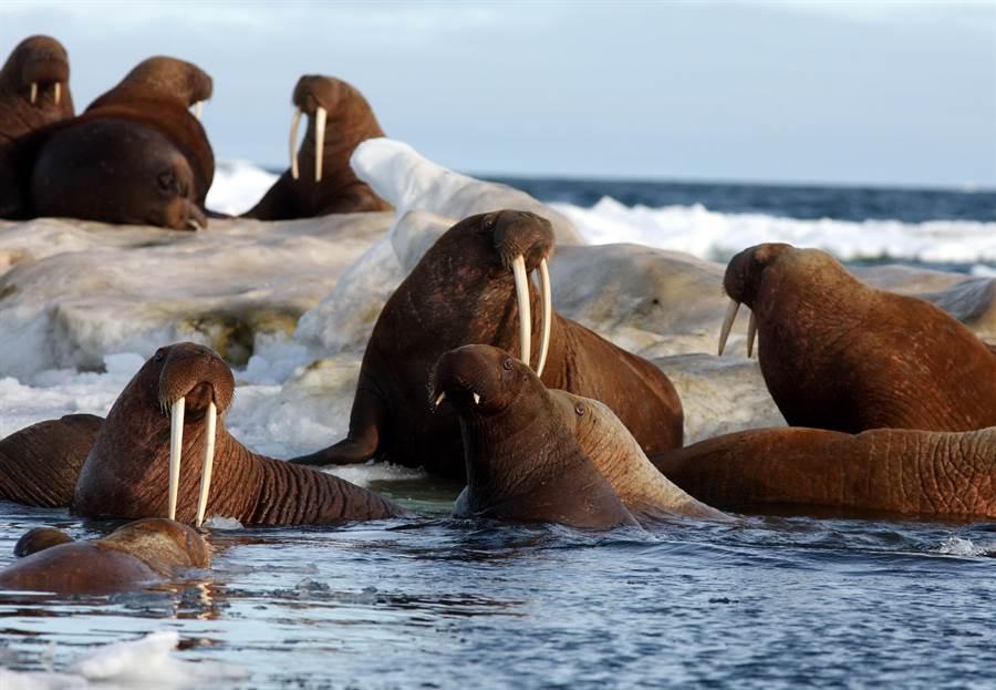 海象被逼上懸崖 為了覓食集體跳海(示意圖/達志影像)