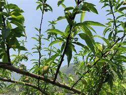 暖冬、果蠅來亂 復興五月桃減產一半
