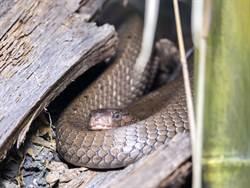 眼鏡王蛇闖入宿舍 員工嗨翻想吃牠