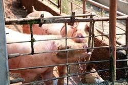 非洲豬瘟蔓延至越南29省 已撲殺120萬隻病豬