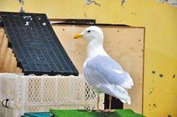 誤吞魚鉤 北極鷗獲救康復