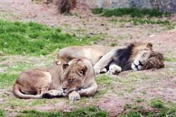 安捏母湯!白目突襲驚醒母獅 公獅下場超慘