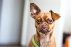 狗耳常流出不明液體 翻開驚見「第二張嘴」
