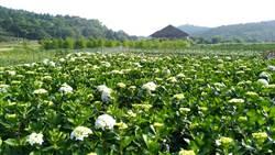 陽明山海芋季近尾聲 賞花把握這周末