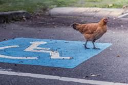 為殘疾雞造輪椅 遭節目調侃不如吃掉