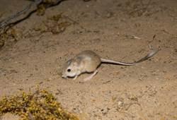 功夫老鼠身手超矯健!響尾蛇夜襲竟被一腳踹飛
