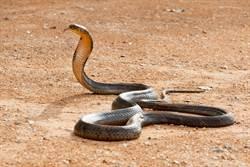 飽餐一頓正想休息…眼鏡王蛇被抓包急吐「全屍」