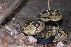 男驚見家裡有蛇!專家一來竟挖出45條響尾蛇