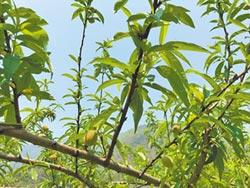 復興五月桃 產量減半
