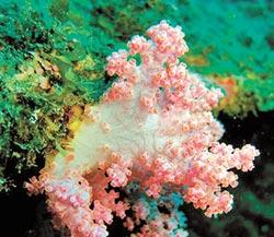 八放珊瑚故事多 專家說給你聽
