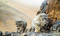 陸動保有成 東北豹、雪豹頻現蹤