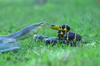 世紀大戰!澳女興奮目睹兩大毒蛇河邊激烈撕咬