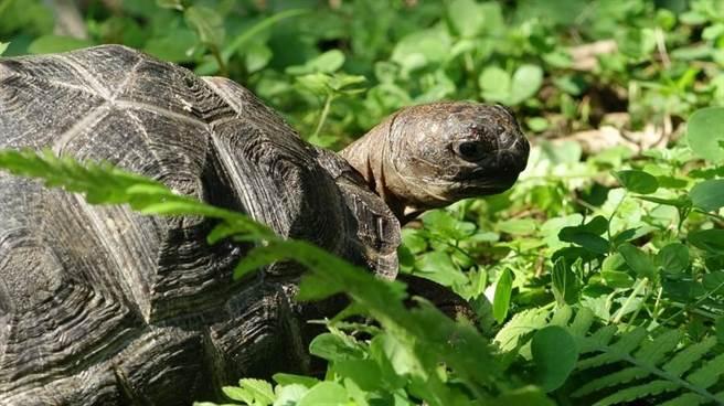 亞達伯拉象龜寶寶〜成長快速滿週歲囉!(台北市立動物園提供)