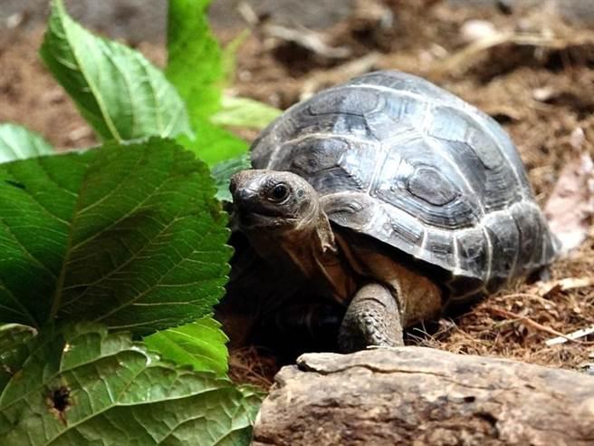 亞達伯拉象龜寶寶們居住在兩棲爬蟲動物館,歡迎大家到兩爬館探望牠們。(台北市立動物園提供)