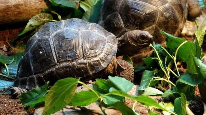 滿周歲的亞達伯拉象龜寶寶,體重由40公克快速增長至1公斤左右。(台北市立動物園提供)