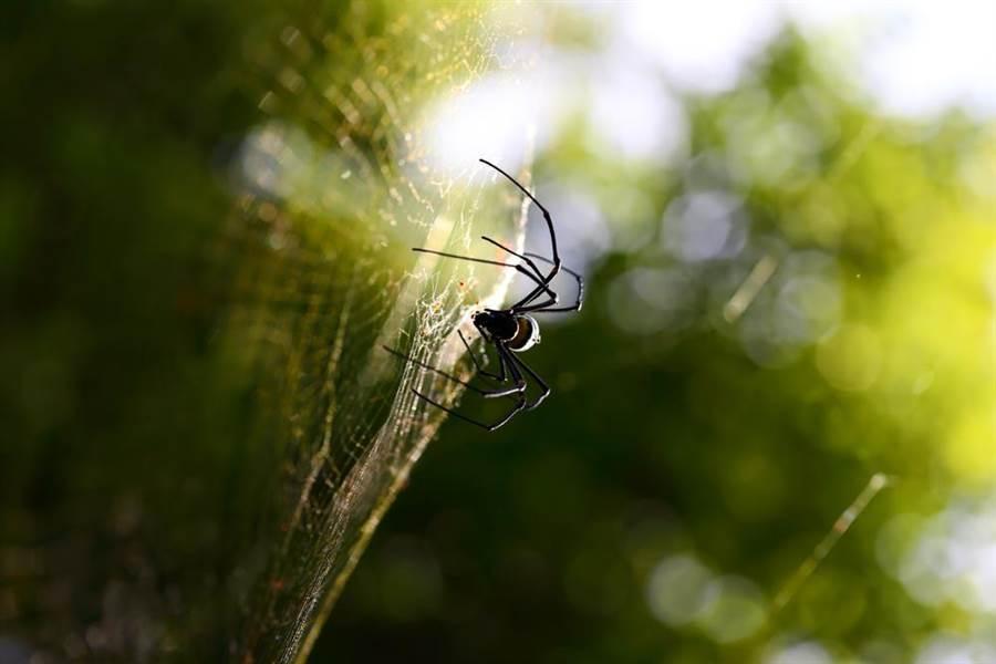 南非發現黑寡婦蜘蛛近親 為世上最大劇毒蜘蛛(示意圖/達志影像)