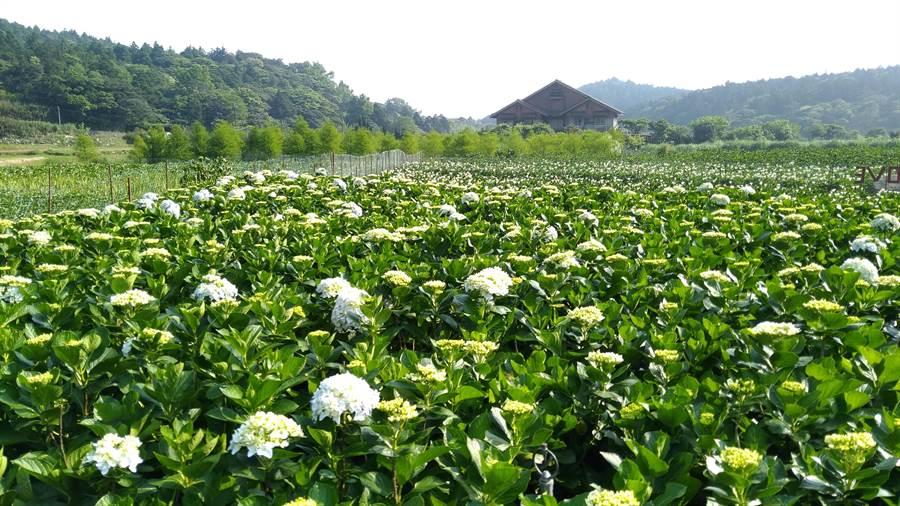 陽明山海芋季即將進入尾聲,歡迎民眾把握時間前往賞花。(北市產業局提供)