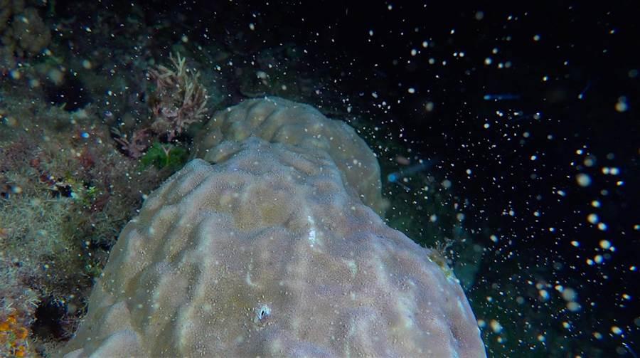 每年農曆3月23日「媽祖生」是珊瑚產卵爆發日,而該日的前1周、後2天也可見到產卵奇景。圖為墾丁海域珊瑚產卵。(蔡永春提供)