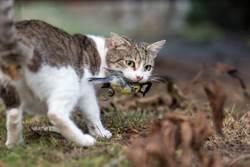 殘忍!澳政府計畫3年殺200萬野貓 甚傳有懸賞