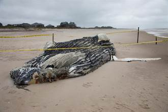離奇!亞馬遜叢林裡驚現10噸重鯨魚屍體