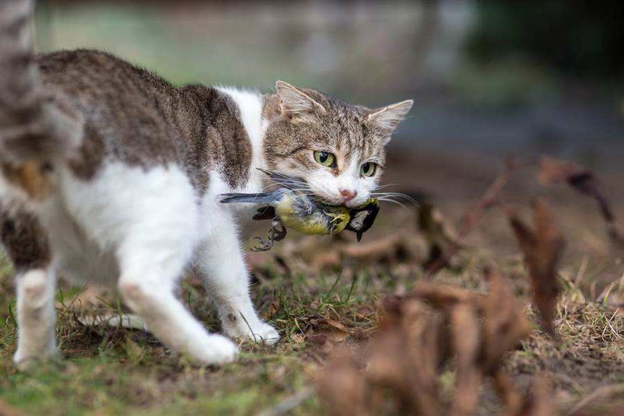 由於澳洲野貓氾濫,已成為當地本土物種最大的單一威脅,對此澳洲政府希望在2020年前撲殺200萬隻野貓。(示意圖/達志影像)