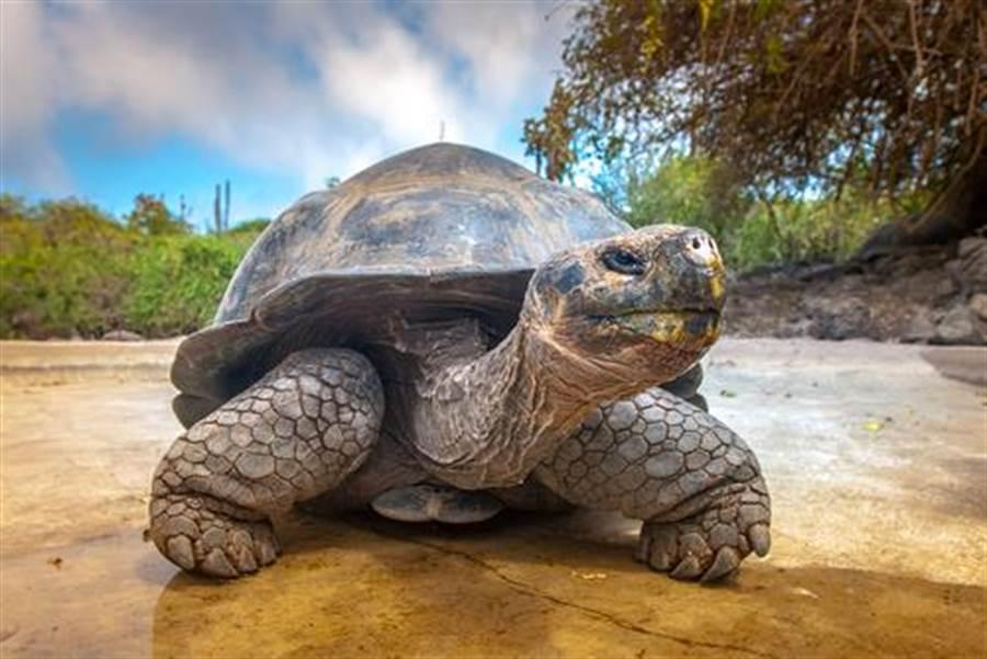 世界最長壽烏龜! 從乾隆時期活到...(示意圖/達志影像)