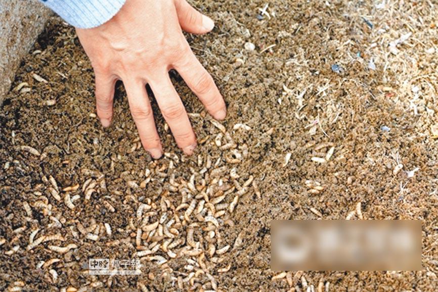 黑水虻微家禽蠕蟲反應器技術,是張志劍12年的研究的成果。(取自浙江在線)