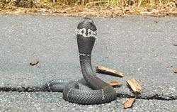 家裡有蛇 男徒手抓被咬險喪命
