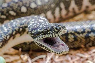 印尼警察出奇招?「巨蛇逼供」小偷崩潰全招了