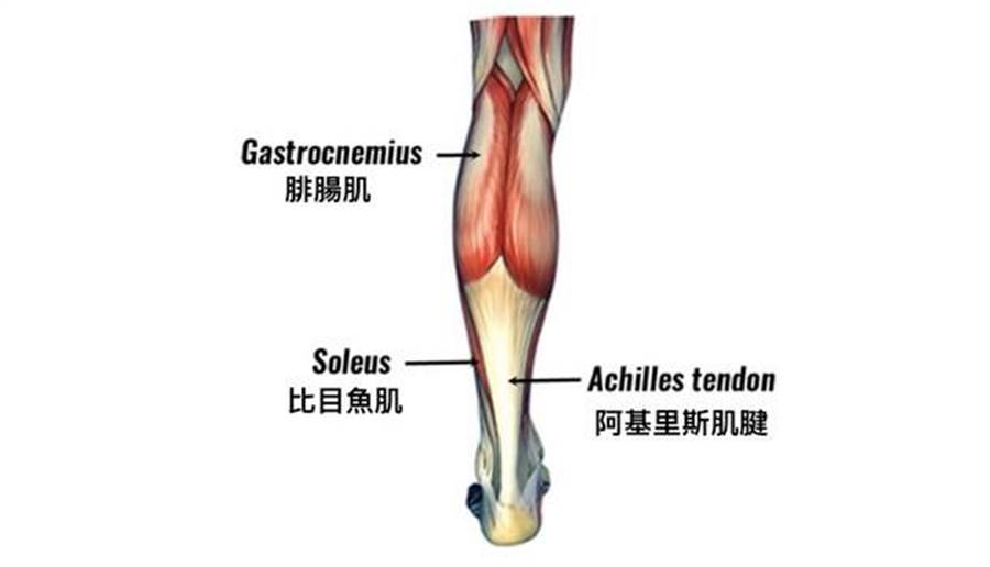 踮腳尖會運用到小腿後側的肌肉,包括腓腸肌、比目魚肌,最後連接到跟腱。圖片來源:Virtual Sports Injury Clinic