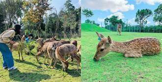 近距離餵食25隻小鹿!台版奈良「斑比山丘」激似童話場景