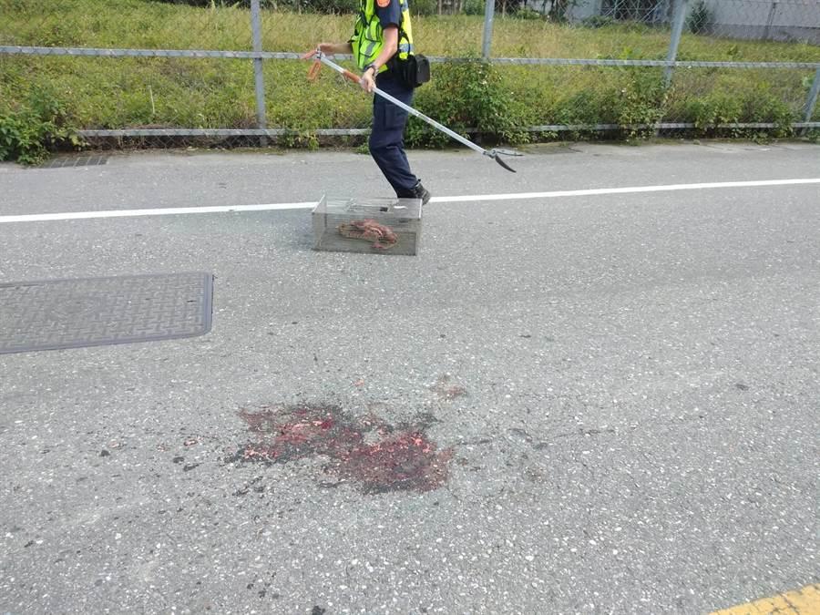 花蓮北埔村1條長蛇過馬路慘遭大車輾過,現場血跡斑斑。(許家寧翻攝)
