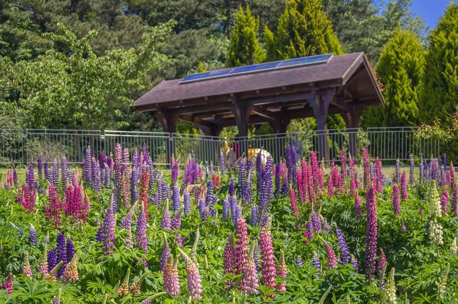 福壽山魯冰花將在5月盛開,繽紛的花朵在山巒間競豔,彷彿名曲歌詞「天上的眼睛眨呀眨」。(王文吉翻攝)