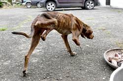 狗遭虐剩兩條腿 農村阿嬤愛心收容